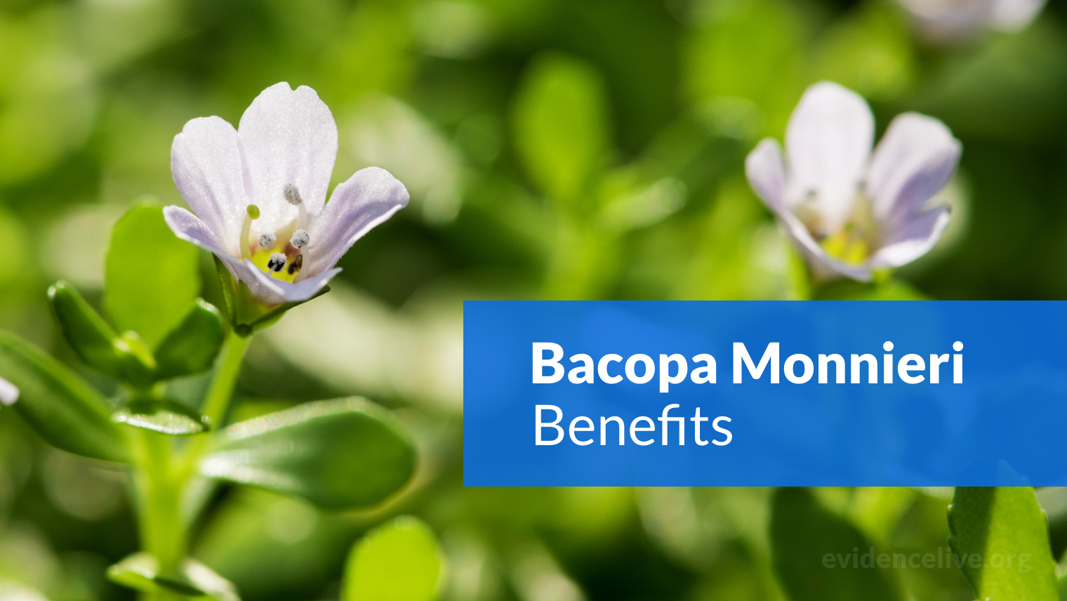 Bacopa Monnieri Benefits: What Is This Nootropic Used For?